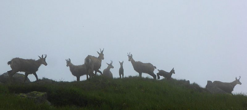 Chamois on the Nizke Tatry Ridge