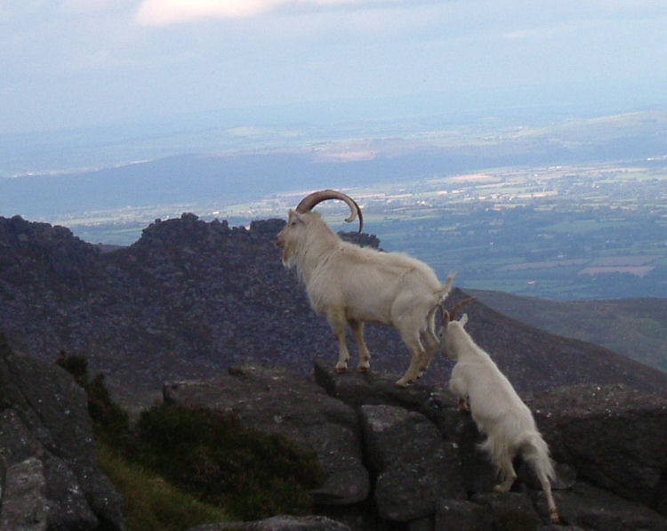 The sure footed wild feral goats of Foill an Priosun with the Coumshingaun ridge behind